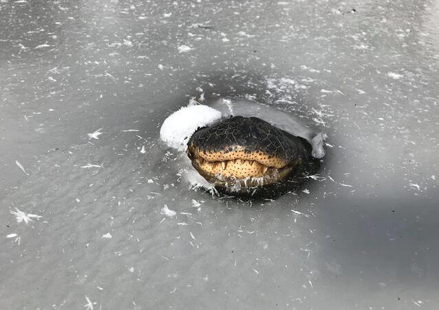 Jacaré colocando seu focinho de fora da água congelada para respirar