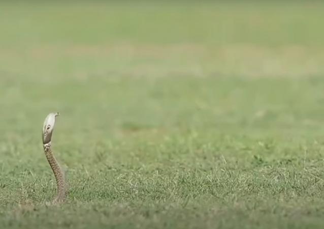 Duelo entre cobra e águia