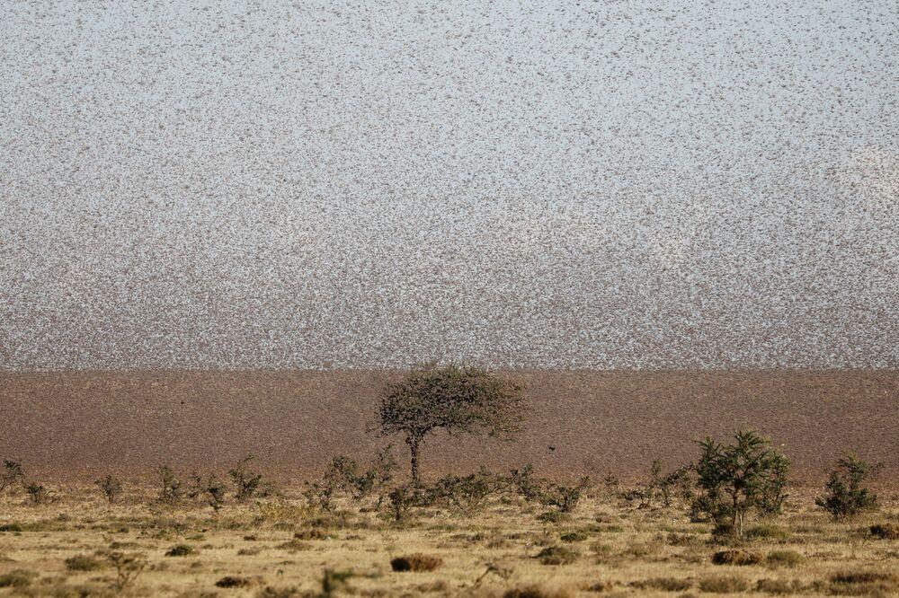Enxame de gafanhotos do deserto voando perto da cidade de Rumuruti, Quênia, 31 de janeiro de 2021