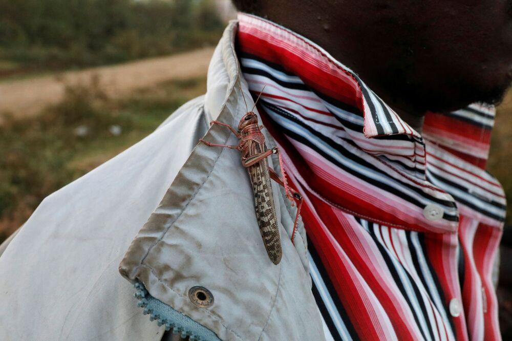 Gafanhoto pousado na camisa de um homem perto da cidade de Rumuruti, Quênia, 3 de fevereiro de 2021