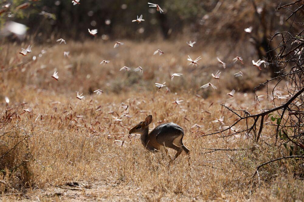 Gafanhotos do deserto voam junto de um antílope perto da cidade de Nanyuki, Quênia, 31 de janeiro de 2021