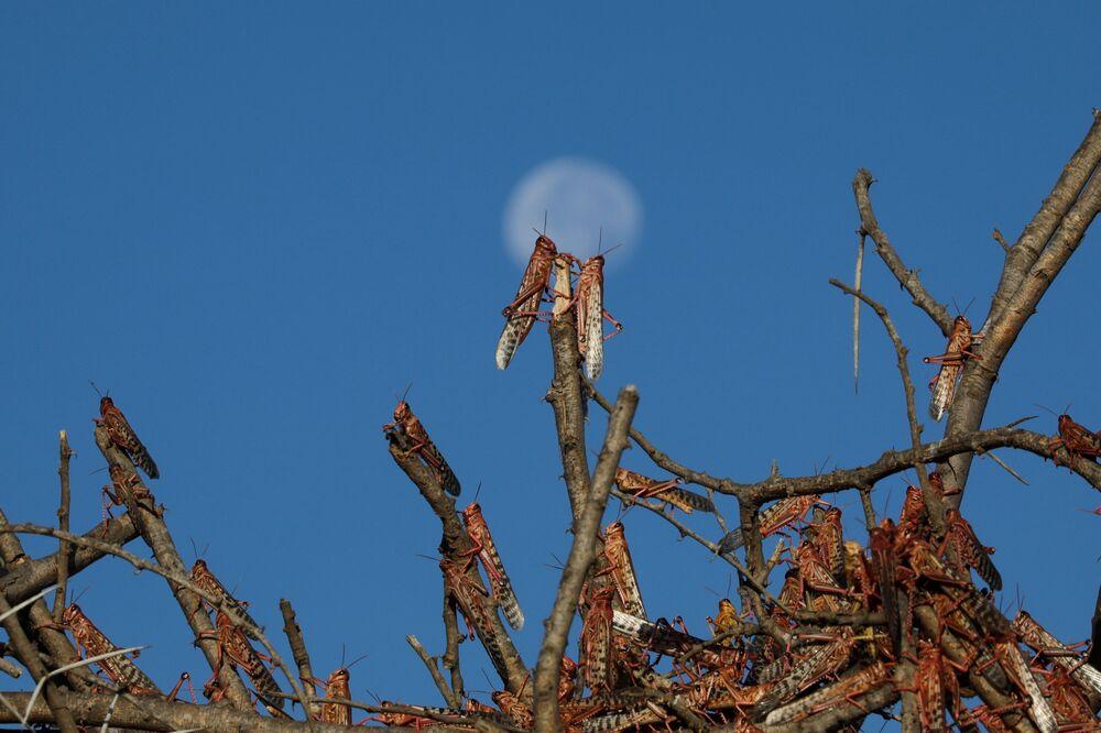 Gafanhotos do deserto descansam em galhos de árvores perto da cidade de Nanyuki, Quênia, 31 de janeiro de 2021