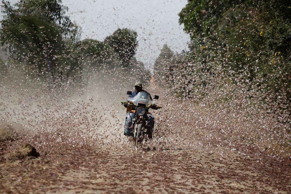 Homem andando de motocicleta passando por enxame de gafanhotos do deserto perto da cidade de Rumuruti, Quênia, 1º de fevereiro de 2021