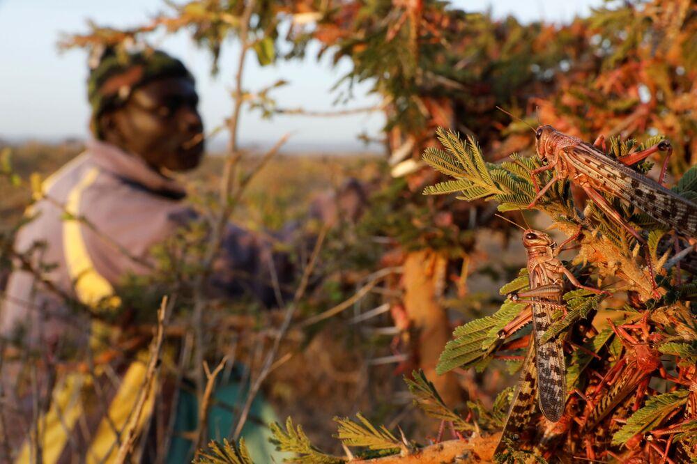 Homem colhe gafanhotos do deserto perto da cidade de Rumuruti, Quênia, 1º de fevereiro de 2021