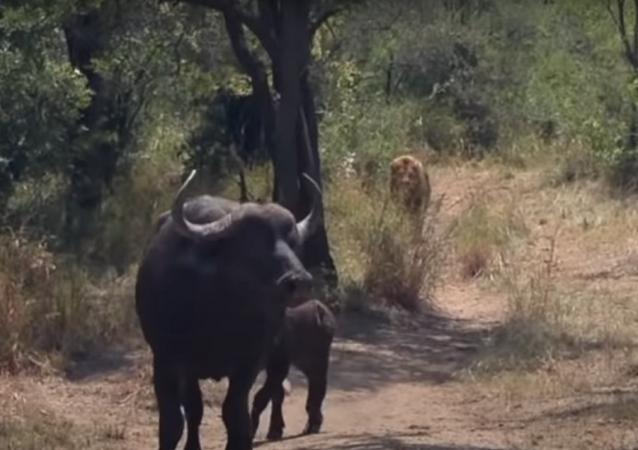 Búfalo enfrenta felinos