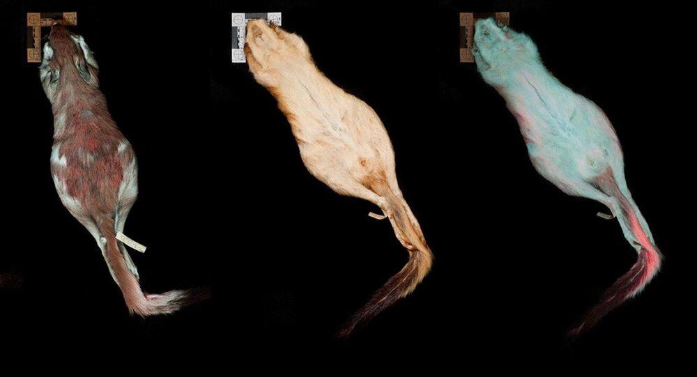 Lebres-saltadoras fluorescentes da espécie Pedetes surdaster em luzes visível e ultravioleta