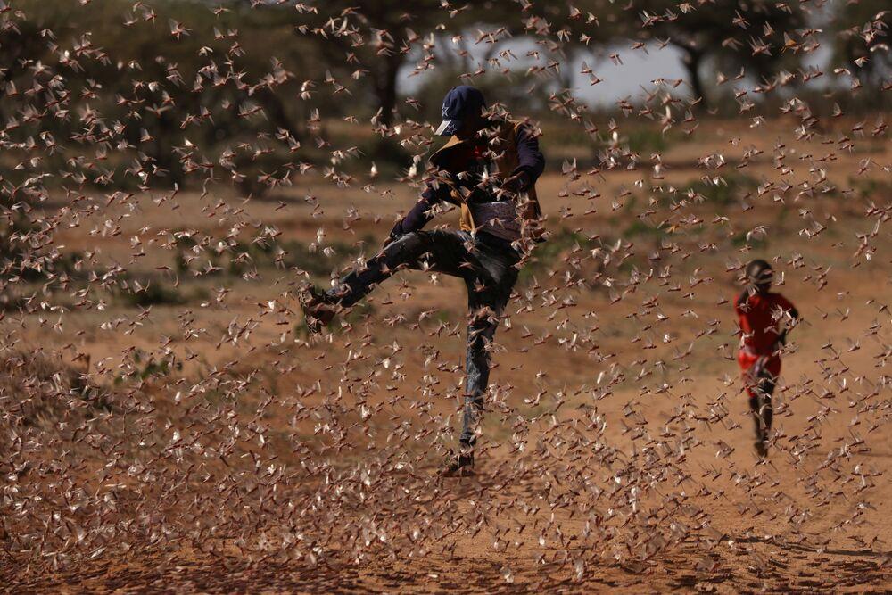 Invasão de gafanhotos no Quênia, a maior em 70 anos