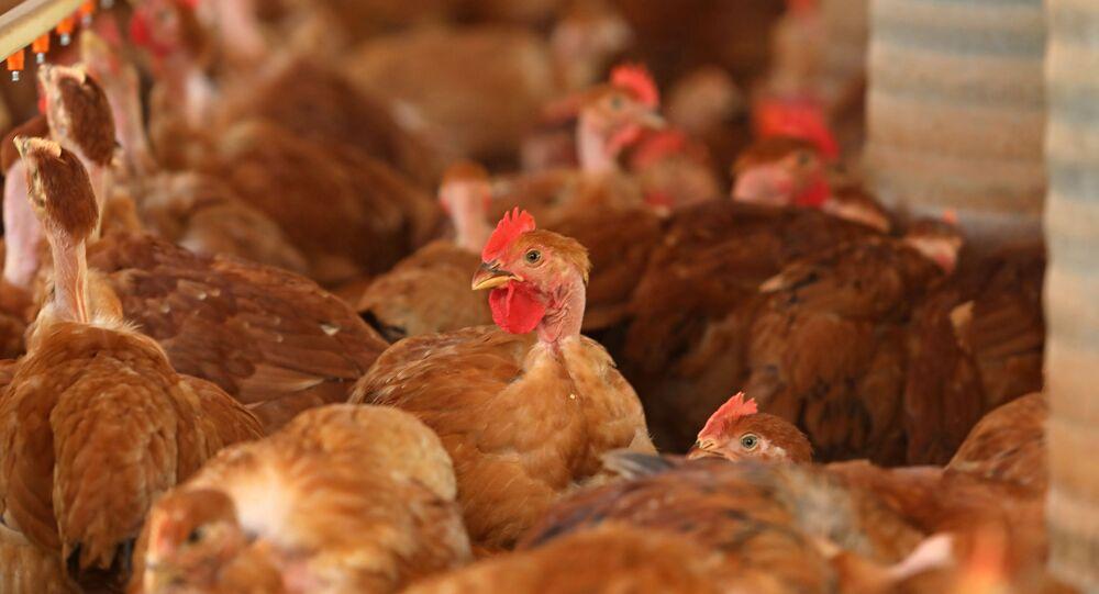 Granja com produção de frangos caipira para abate no mercado externo e interno, em Uberaba (MG)