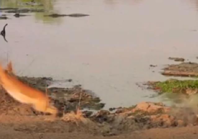 Por um triz: antílope dá salto olímpico e escapa de virar almoço de crocodilo