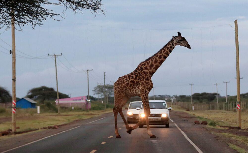 Girafa passa colando em fiação elétrica ao cruzar estrada no Quênia