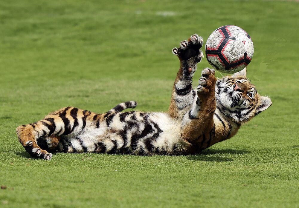 Filhote de tigre joga bola em zoológico privado nos Emirados Árabes Unidos, 2 de março de 2021