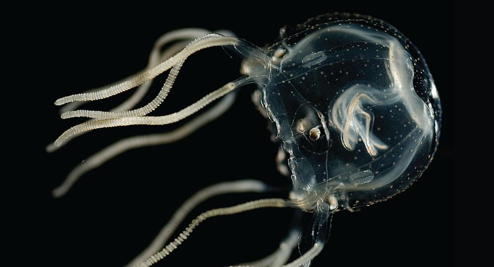 Tripedalia cystophora, espécie de medusa (imagem referencial)