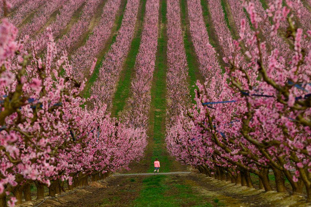 Criança caminha entre árvores floridas em um pomar de pêssegos em Aitona, Espanha