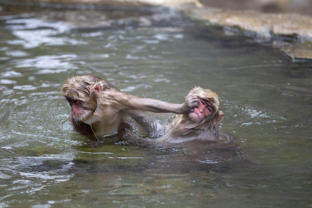 Macacos japoneses em uma fonte termal no parque de macacos de Jigokudani, na prefeitura de Nagano, Japão
