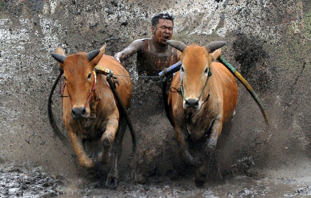 Concorrente chicoteia suas vacas durante a corrida Pacu Jawi, Sumatra Ocidental, Indonésia