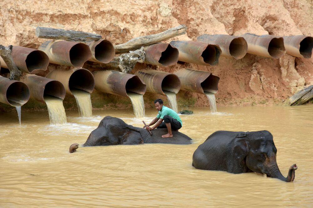 Homem dá banho aos elefantes na província de Riau, Indonésia