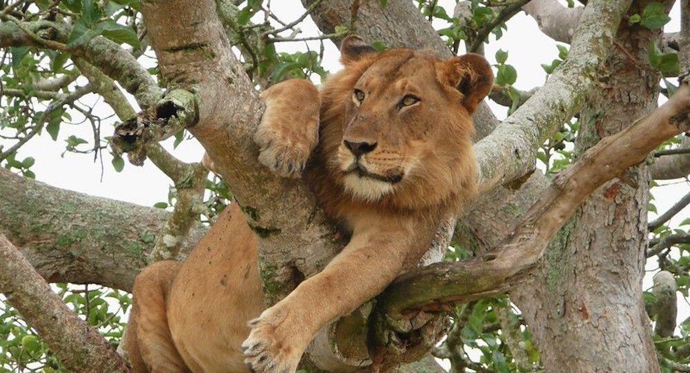 Os leões do Parque Nacional Rainha Elizabeth, em Uganda, são famosos por subir em árvores