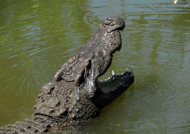 Crocodilo mostra sua grande mandíbula (imagem referencial)