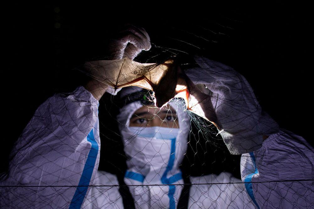 Especialista em morcegos desemaranha morcego de uma rede na Universidade de Los Baños, Filipinas