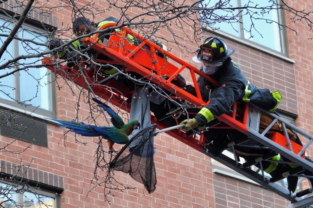 Bombeiros de Nova York resgatam arara-catalina de uma árvore, na área de Manhattan