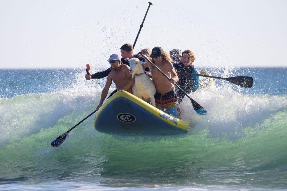 Pessoas surfam com uma cabra em San Clemente, Califórnia