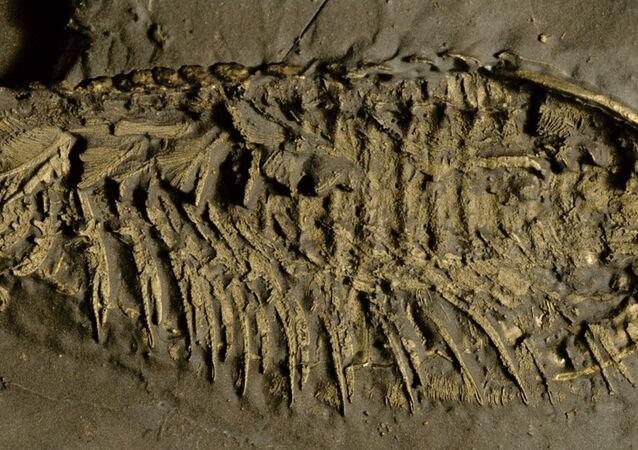 Fóssil de trilobita preservado em pirita