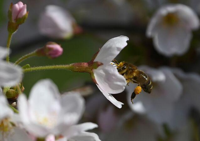 Abelha coleta pólen da flor da cerejeira, Londres, Reino Unido
