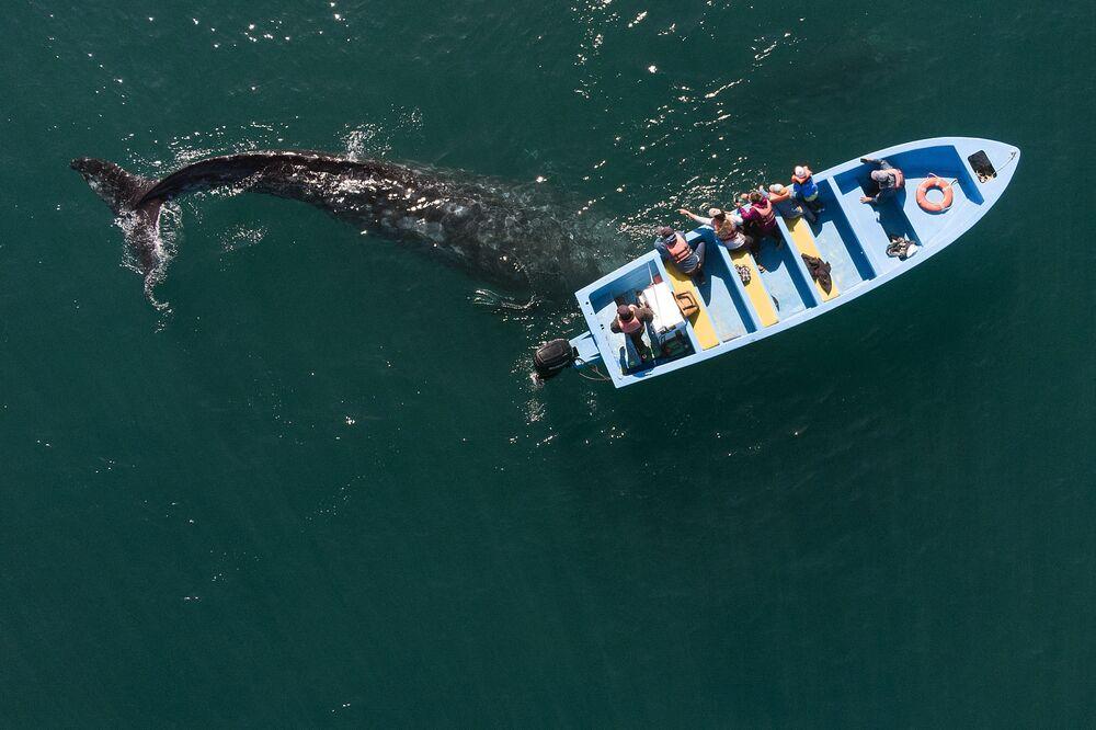 Imagem aérea de baleia-cinzenta ao lado de barco com observadores, México, 27 de março de 2021