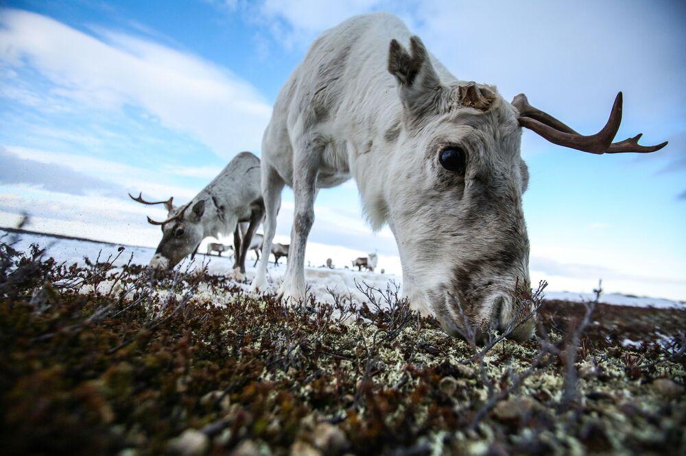 Renas pastam perto do povoado de Lovozero, região de Murmansk, Rússia