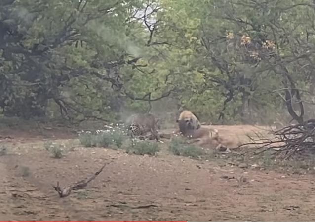 Hiena e leopardo disputam presa em reserva natural na África do Sul
