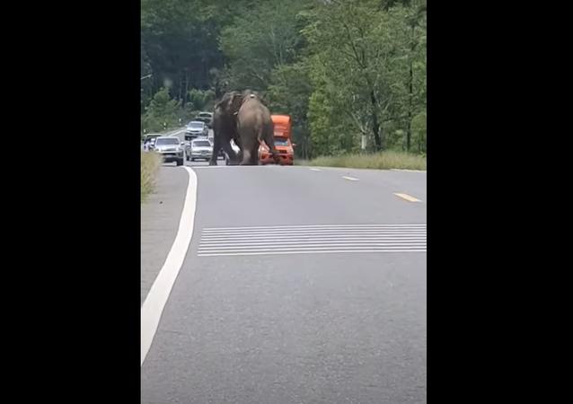 Saia do meu caminho! Elefantes furiosos causam caos em estrada movimentada