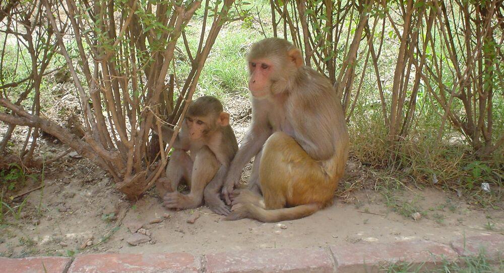Macacos da espécie Rhesus fotografados no Forte Vermelho em Agra, na Índia