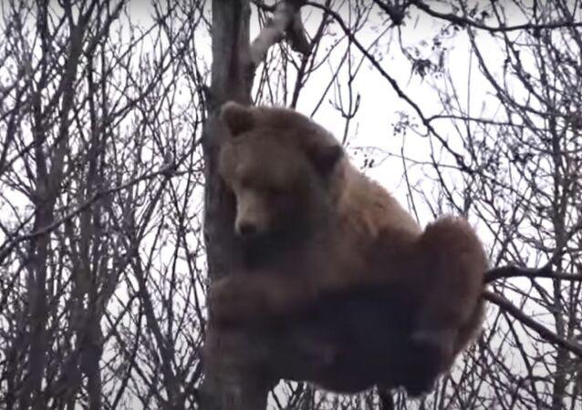 Urso sobe a árvore frágil e relaxa a quase 10 metros de altura