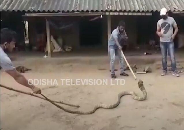 Cobra de quatro metros resgatada em aldeia indiana