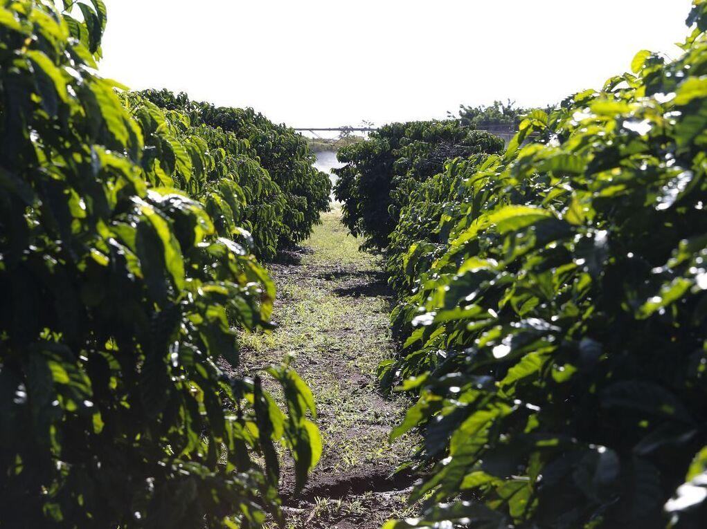 Plantação de Café na Embrapa Cerrado.