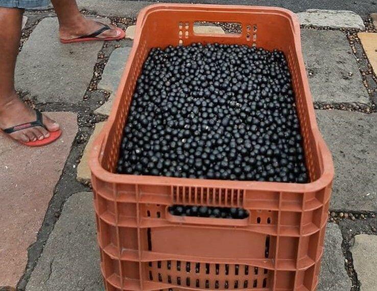 Açaí recém colhido chega ao mercado em Belém, capital do Pará.