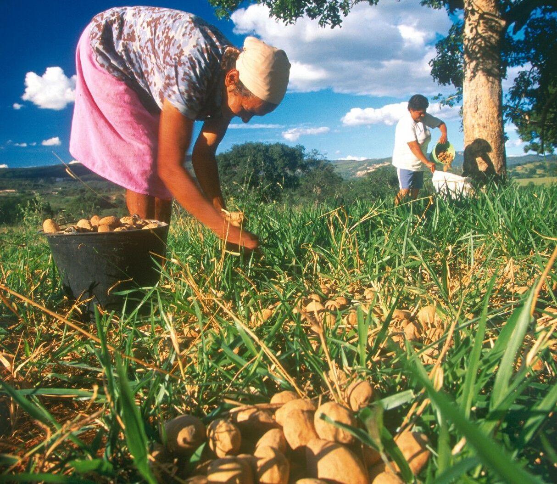 Coletores de baru trabalham em uma mata do cerrado do Mato Grosso do Sul.