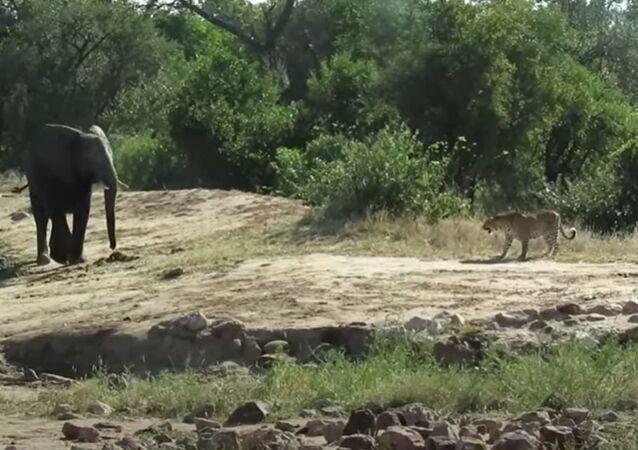 Elefante e leopardo