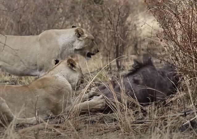 Leões atacam gnu em savana africana
