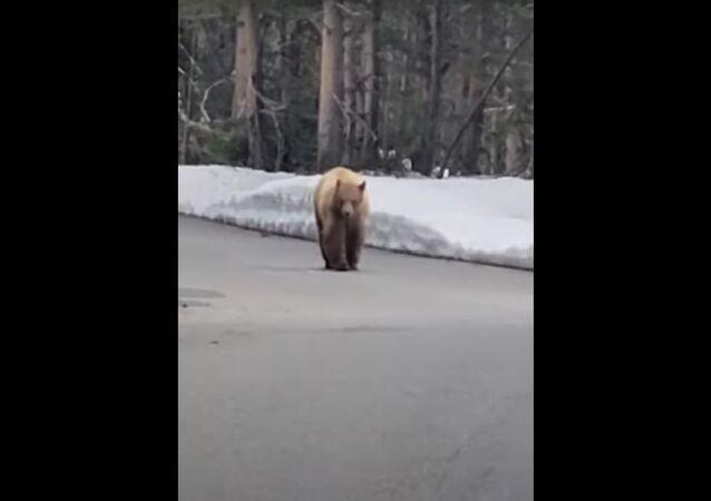 Me deixe em paz! Urso faminto persegue rapaz em parque nos EUA