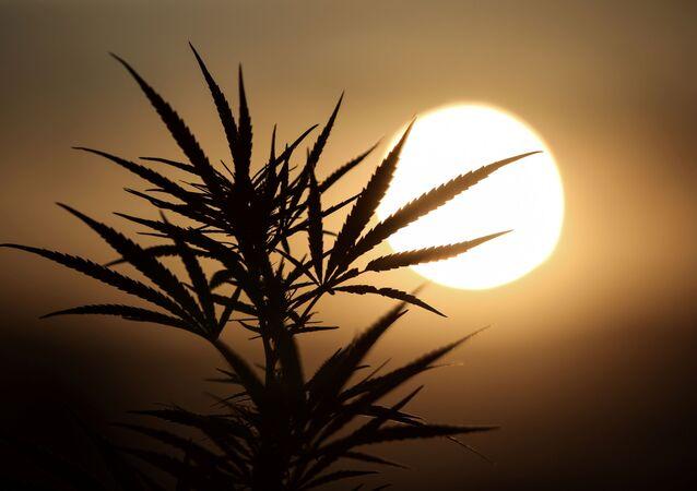 Folhas de uma planta da linhagem de maconha aparecem em silhueta quando o sol se põe em uma plantação de cannabis medicinal.