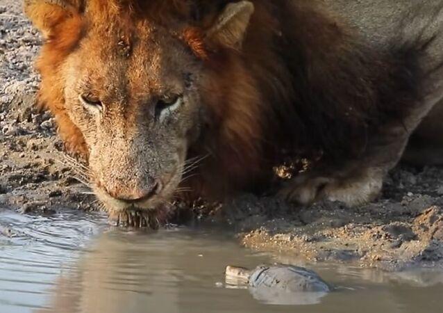 Valente tartaruga afasta leões de sua poça
