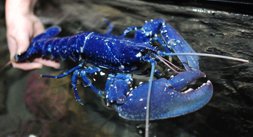 Rara lagosta azul encontrada na França, em 2017