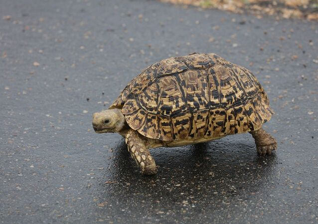 Tartaruga atravessando rodovia (imagem referencial)
