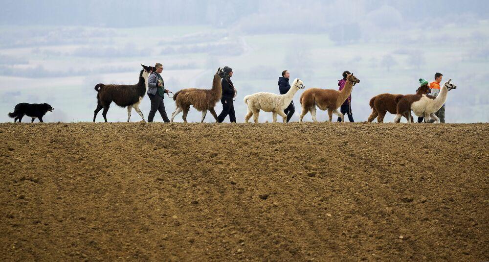 Família passeia com suas lhamas, alpacas e cachorro em estrada rural em Waldhausen, Alemanha, 18 de abril de 2021