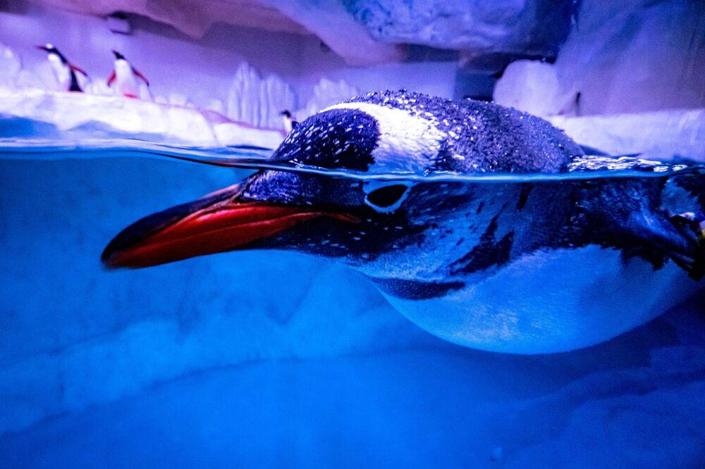 Pinguim nadando em seu recinto no aquário de Bangkok, na Tailândia, 21 de abril de 2021