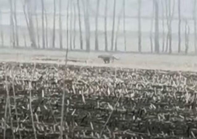 Tigre ataca na china