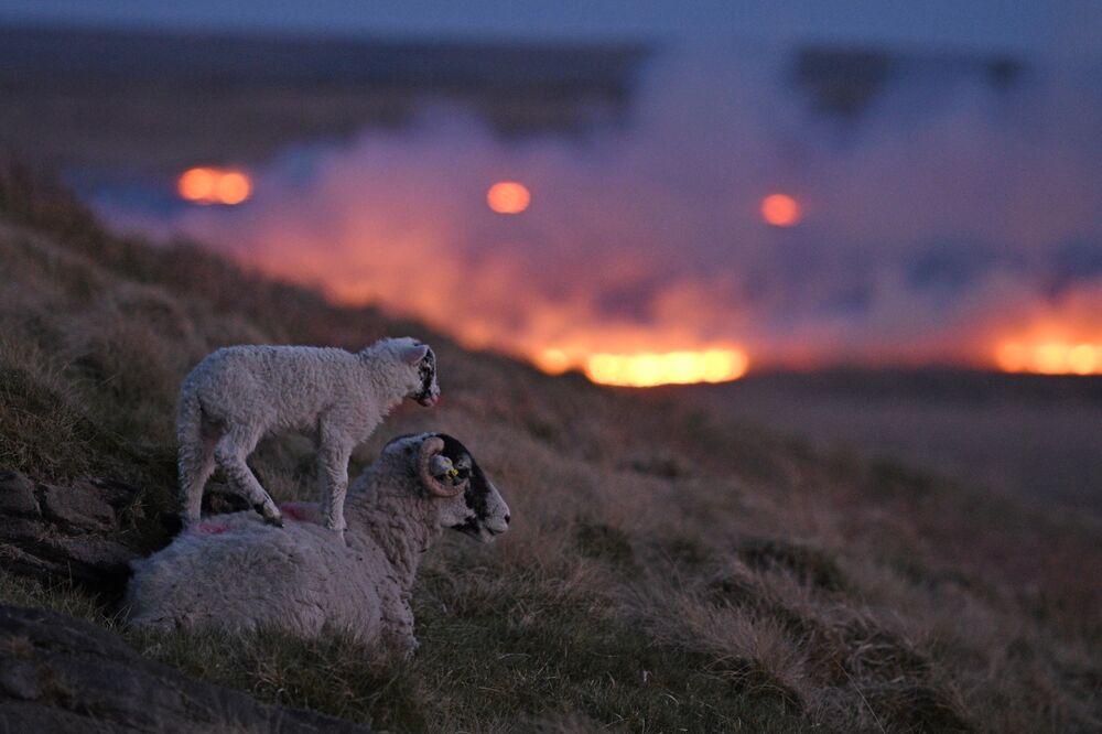 Ovelhas sobem a encosta enquanto incêndio em pântano é visto perto de Huddersfield, no norte de Inglaterra, 25 de abril de 2021