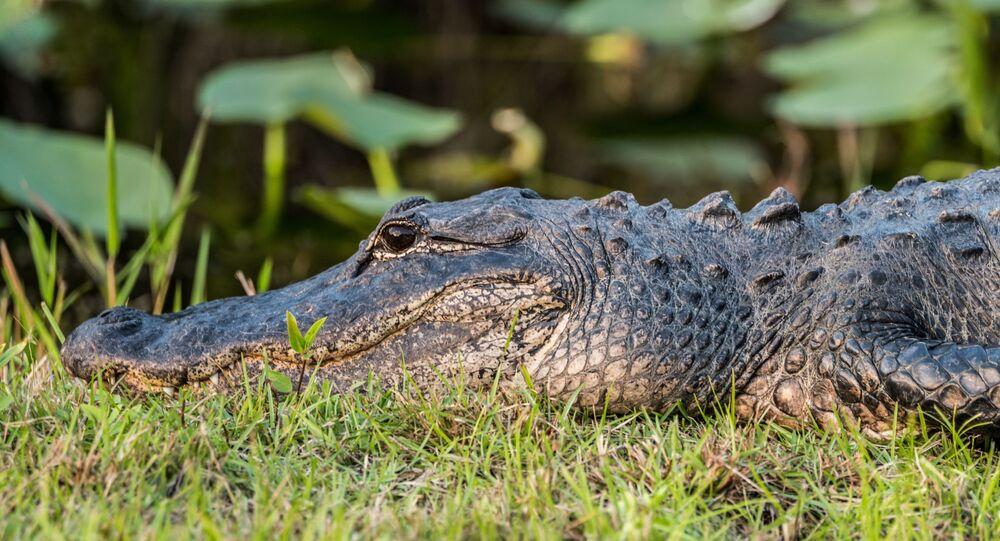 Aligátor (imagem referencial)