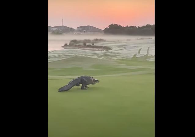 Aligátor em campo de golfe